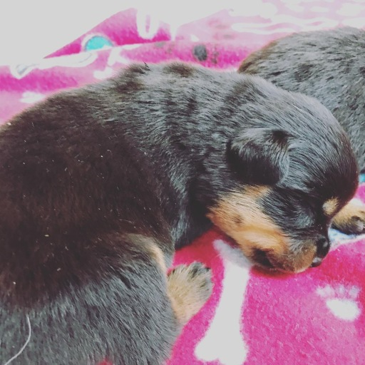 Current Litters | AKC Registered Rottweiler Puppies